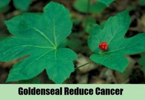 Goldenseal-Reduce-Cancer