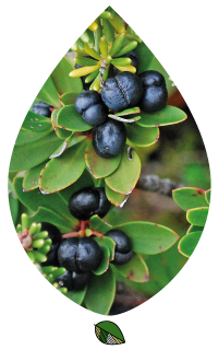 TPEC_Tasmanian-Pepper-Berry_large