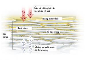 mang hydrolipit