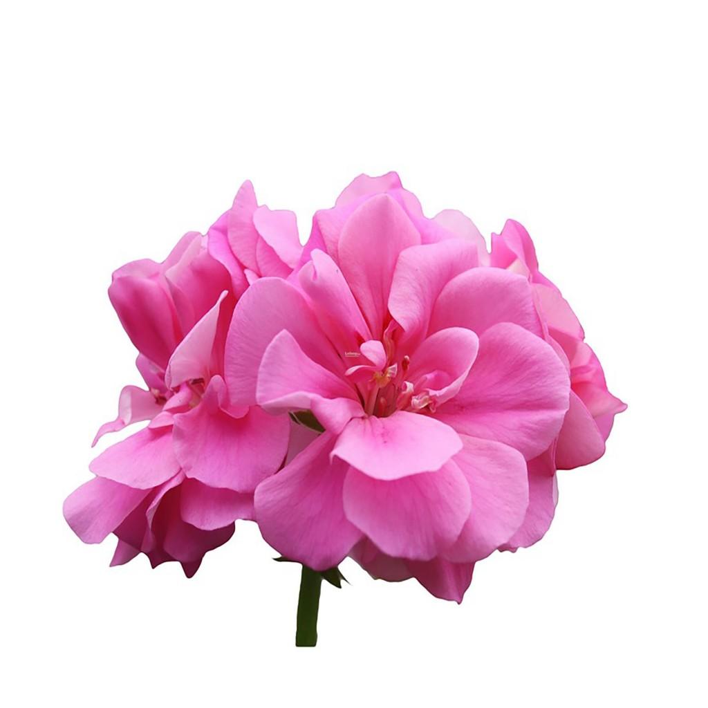 rose-geranium-oil-eygpt-10ml-chemieconnex-1712-03-Chemieconnex@24